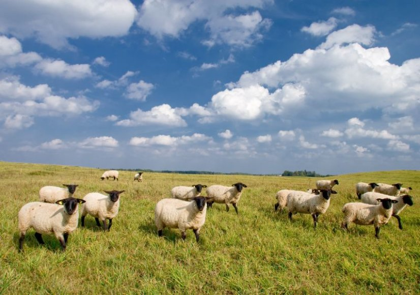 Biržų rajone gyvenantys ūkininkai tikina, kad keturios jų avys žuvo nuo kranklių.