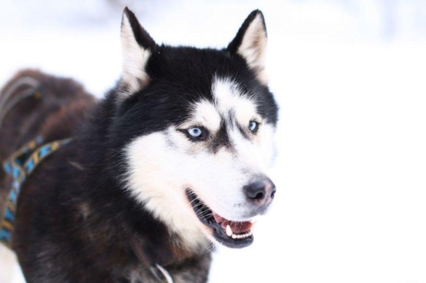 Mėlynakiai šunys užburia. Tačiau jų augintojai perspėja, kad įsigijęs tokį šunelį žmogus turi suprasti, jog nuo šiol daug laiko turės leisti lauke aktyviai judėdamas.