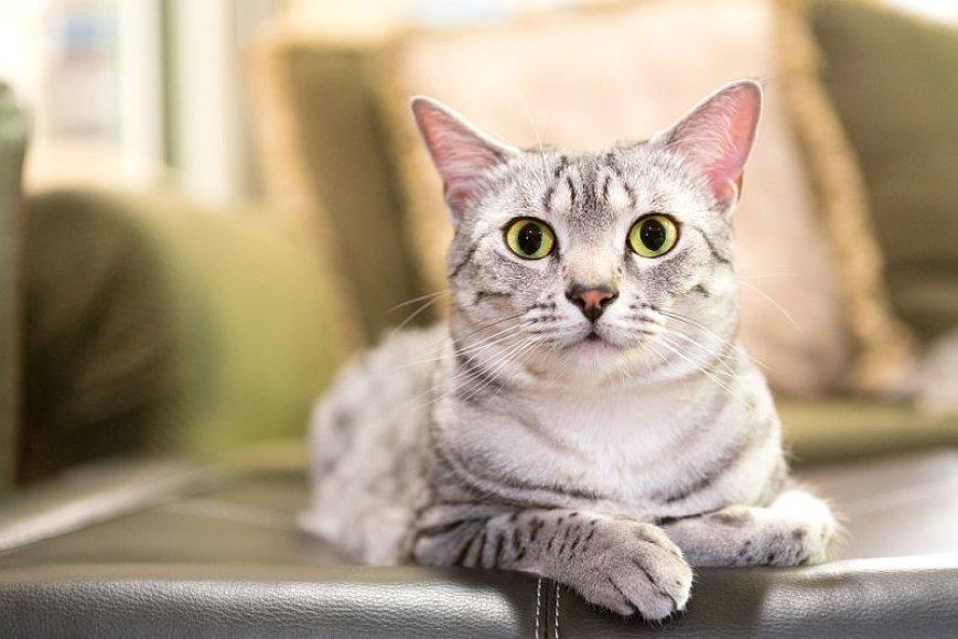 Trumpaplaukė Egipto Mau katė