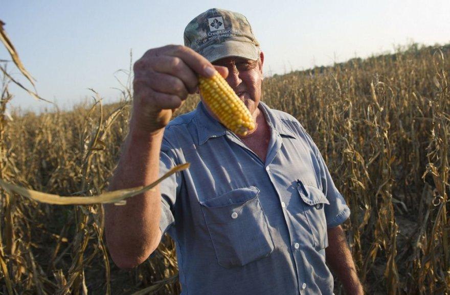 Ūkininkas rodo kokie nedideli kukurūzai išaugo.
