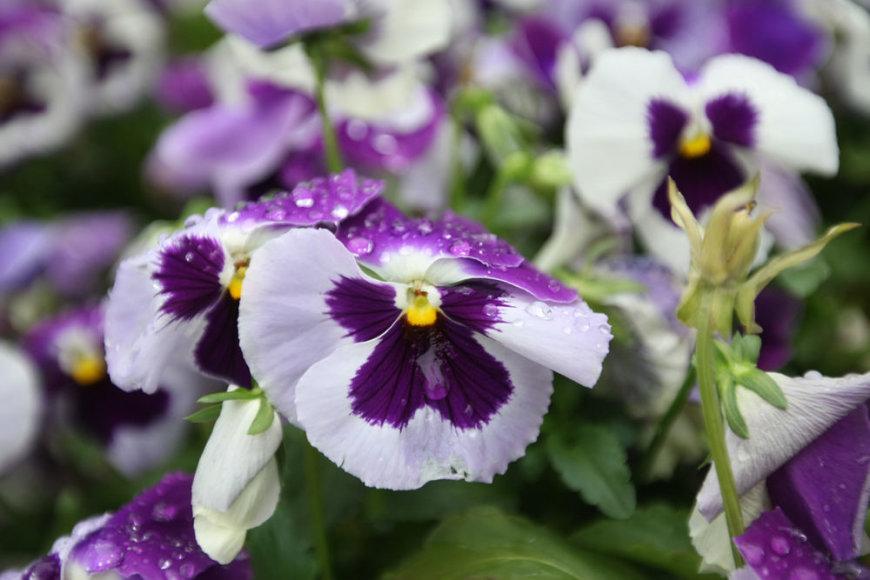 Gėlių gausa Vilnius pasigirti negali