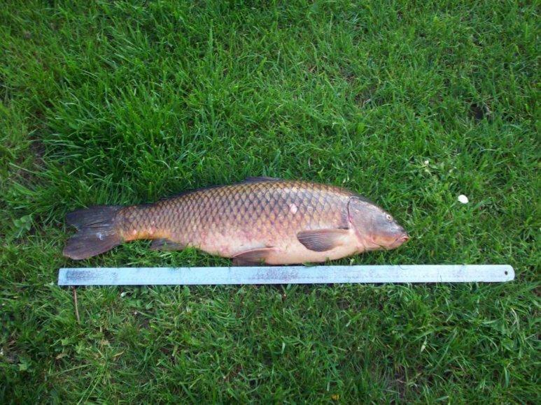 Kazimiro karpis: 8,5 kg., 81 cm, sugautas Spenglos ežere.