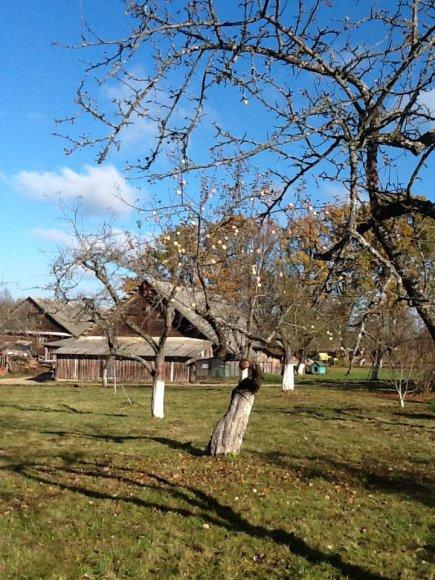 Mikniškės-Michnovo stačiatikių bendruomenė, obelys