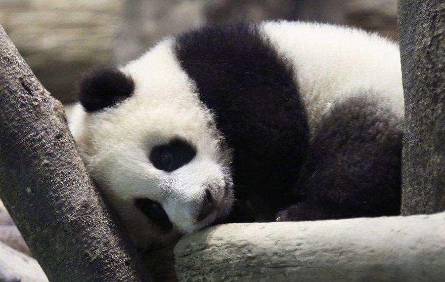 Panda Juan Zai traukia turistus iš viso pasaulio