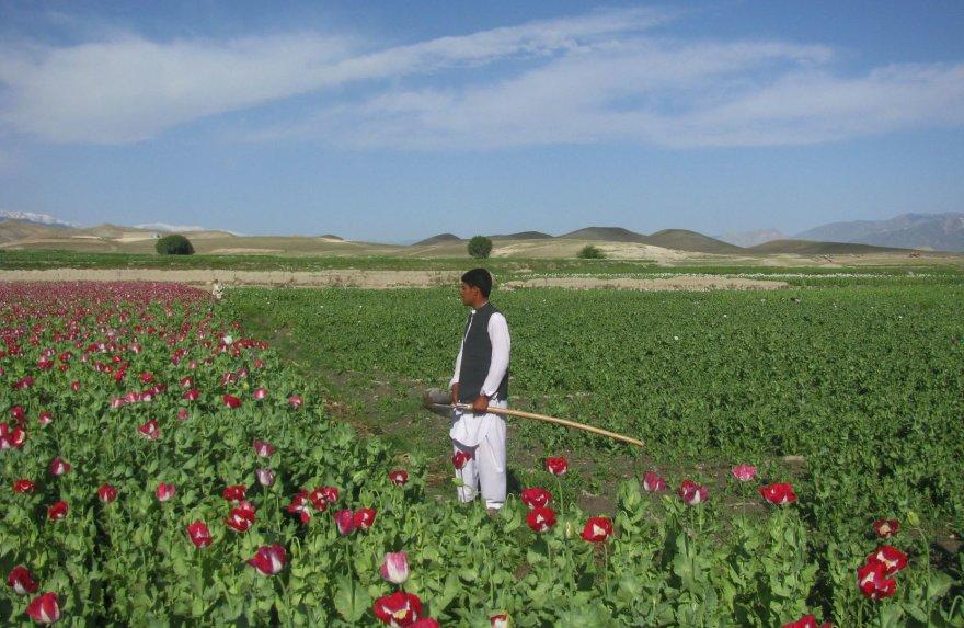Aguonų laukas Afganistano Nangarharo provincijoje
