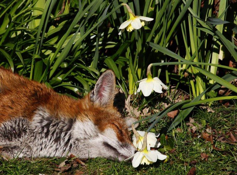 Mieganti lapė