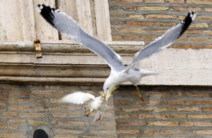 Popiežiaus taikos karvelius užpuolė kiras ir juoda varna