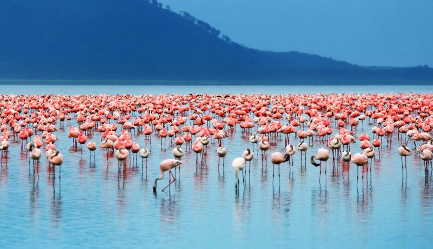 Flamingai.