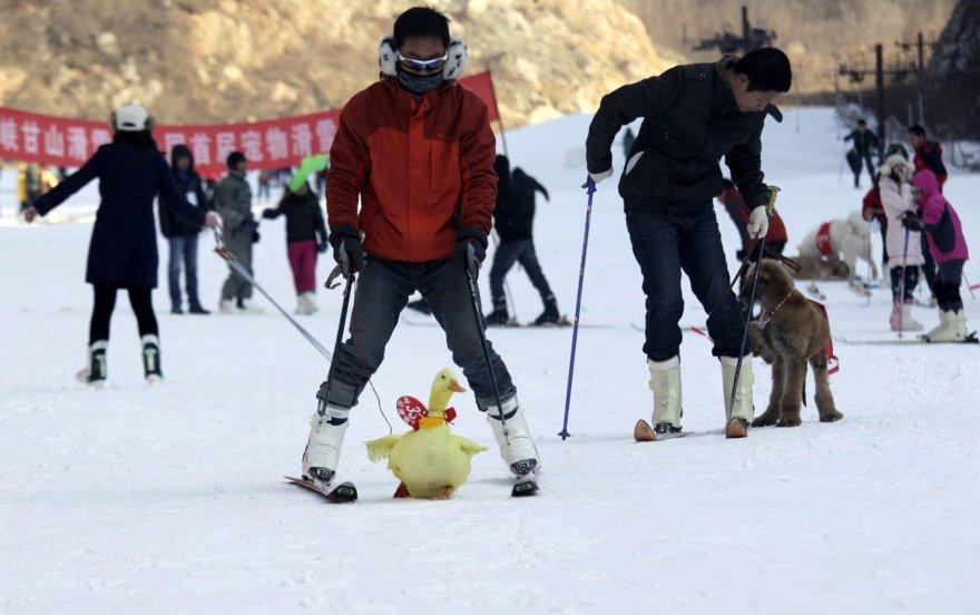 Slidinėjimo varžybos su gyvūnais Kinijoje
