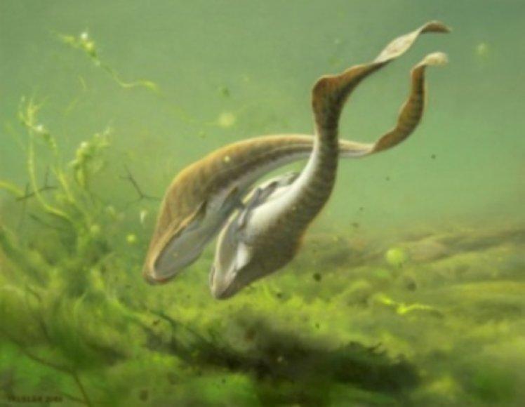 Žuvys Incisoscutum ritchie
