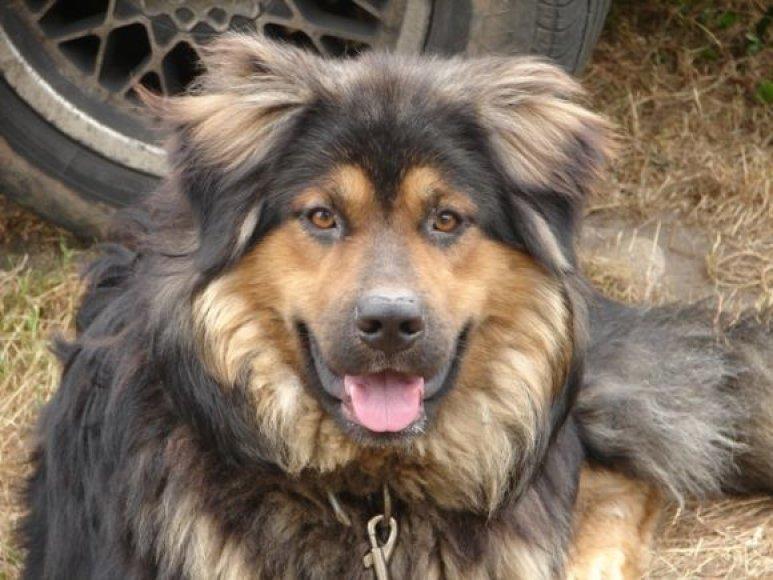 Šuo, kuris buvo rastas pririštas grandine.