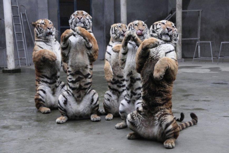 Tigrai Kinijos zoologijos sode