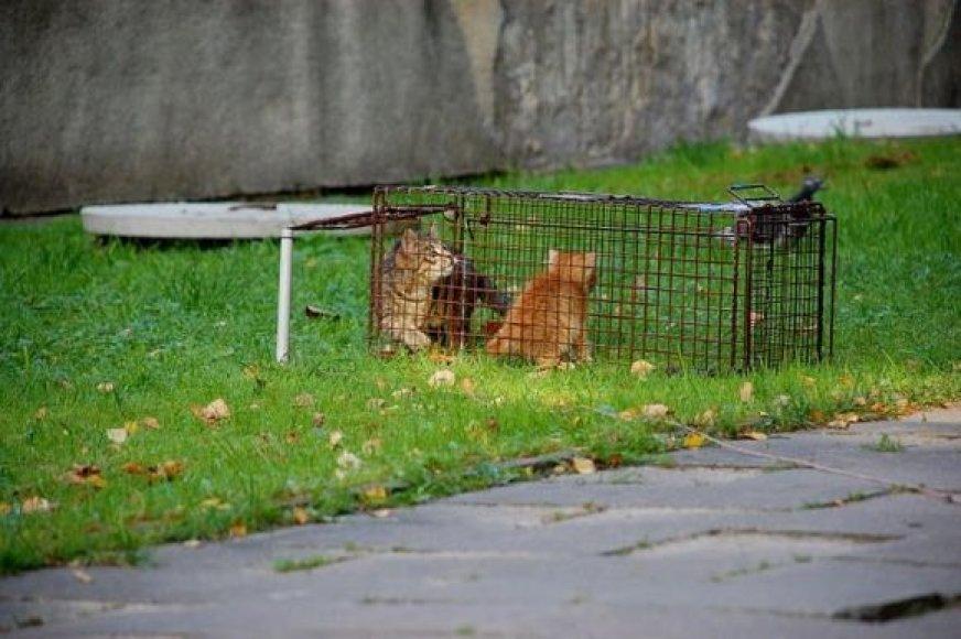 Benamių kačių gaudymas
