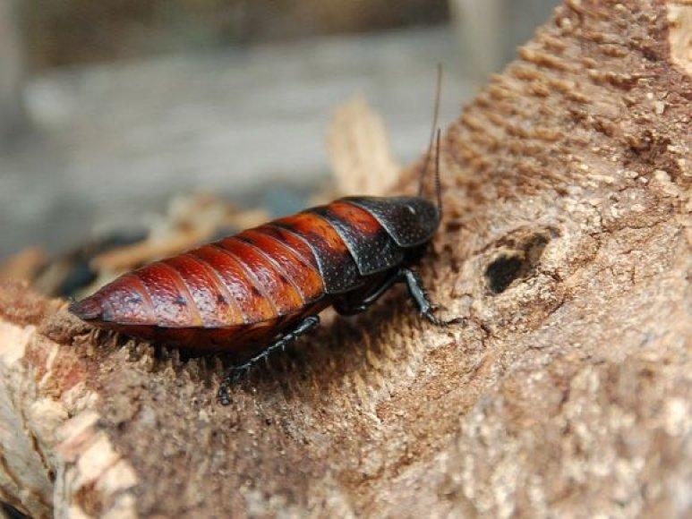 Madagaskaro tarakono patelė
