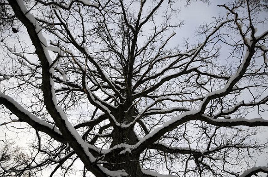 Apsnigtas medis