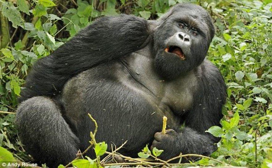 Girta gorila