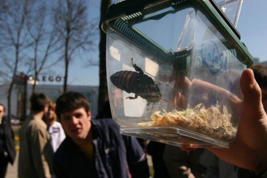 """Tarakonų lenktynės – tradicinis festivalio """"InfoShow"""" renginys."""