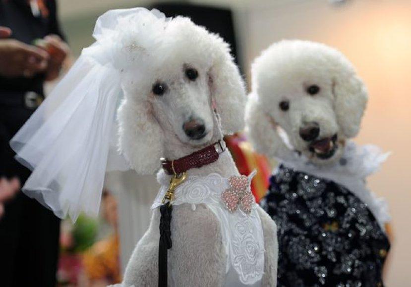 Šunų vestuvių mados demonstruotos Taivane vykusioje šunų parodoje.