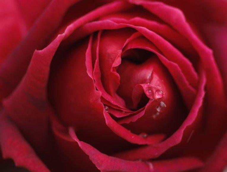 Raudona rožė – meilės gėlė