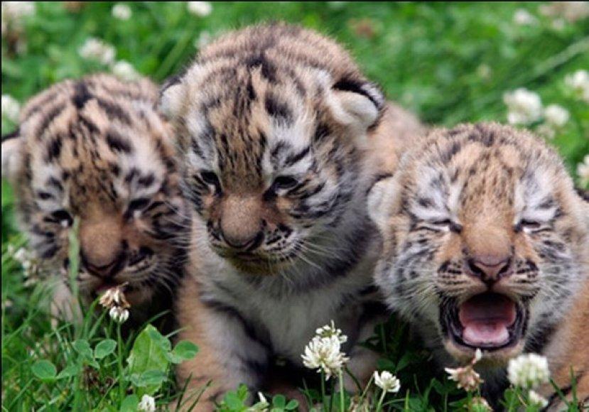 Tigriukai