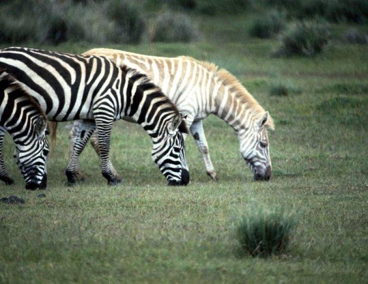 Zebras albinosas
