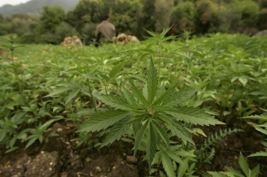 Marihuanos plantacijos