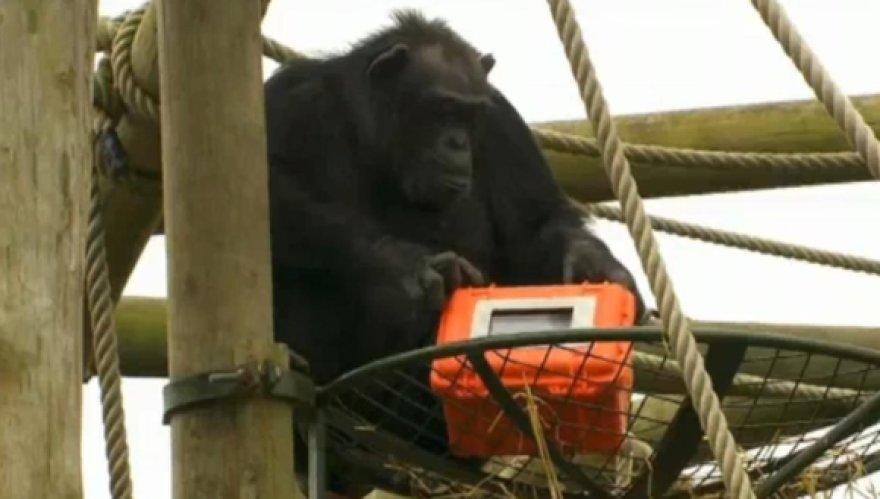 Šimpanzės sukūrė filmą apie save.
