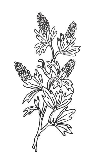 Jurgos Radzevičiūtės iliustracija/Myrothamnus flabellifolia