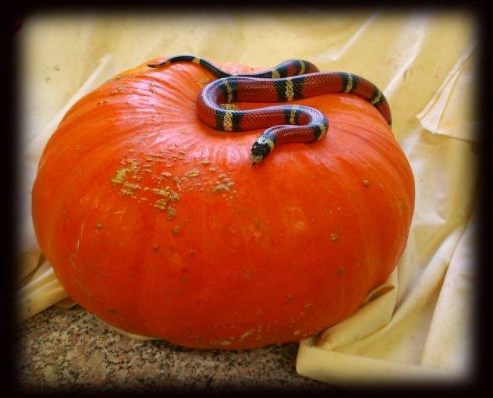 Helovino šventė vyks terariume. Jo gyventojai jau pasiruošę lankytojams.