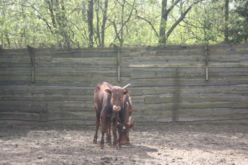 Afrikietiškų karvių pora į Klaipėdą atkeliavo iš Čekijos.