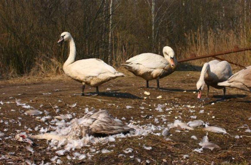 Į Novaraisčio draustinį vakar nuvykęs B.Noreikis rado sudarkytus šešių gulbių kūnus bei devynis akivaizdžiai paliegusius paukščius.