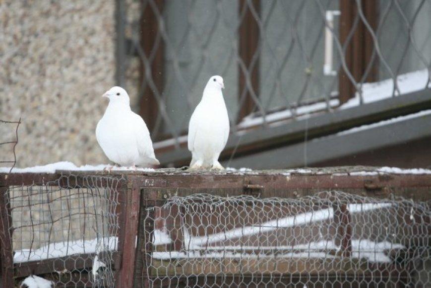 20 karvelių po savo balkonu auginantis vilnietis Genadijus nemano, kad jo paukščiai galėtų kam nors trukdyti.
