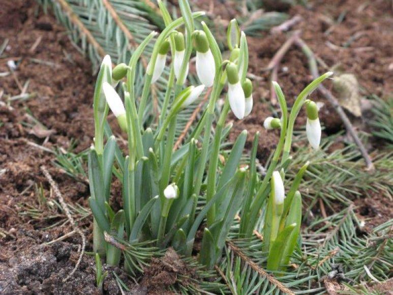 Snieguolės Botanikos sode.