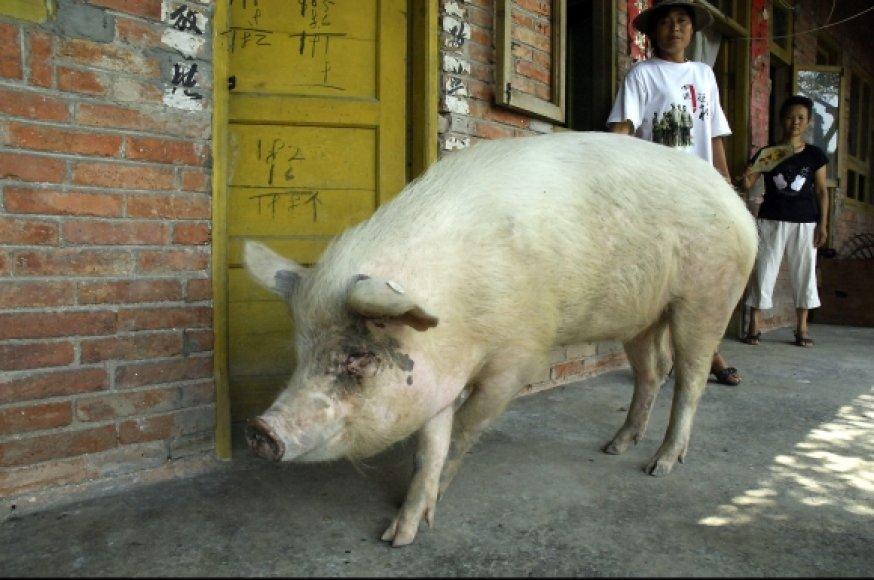 Didvyrio vardą kiaulė vardu Zhu Jiangqiang užsitarnavo 2008 metais