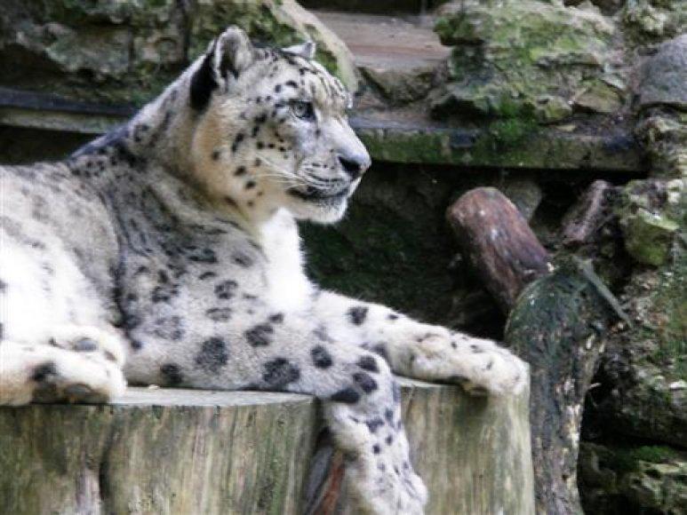 Snieginio leopardo patelė Irbė