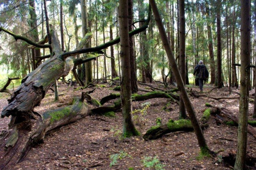 Dubravos rezervatinės apyrubės miškas
