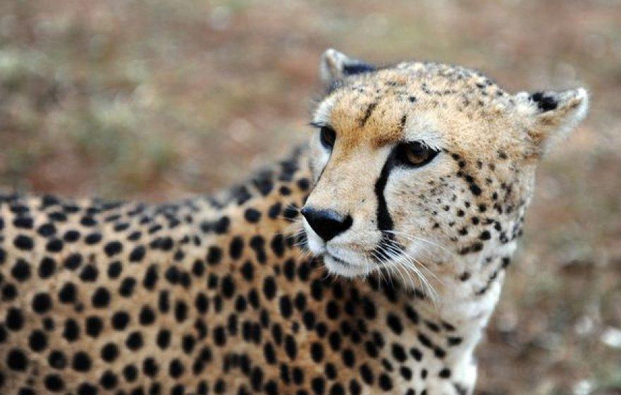 Gepardė Sara pasiekė žinduolių greičio rekordą.