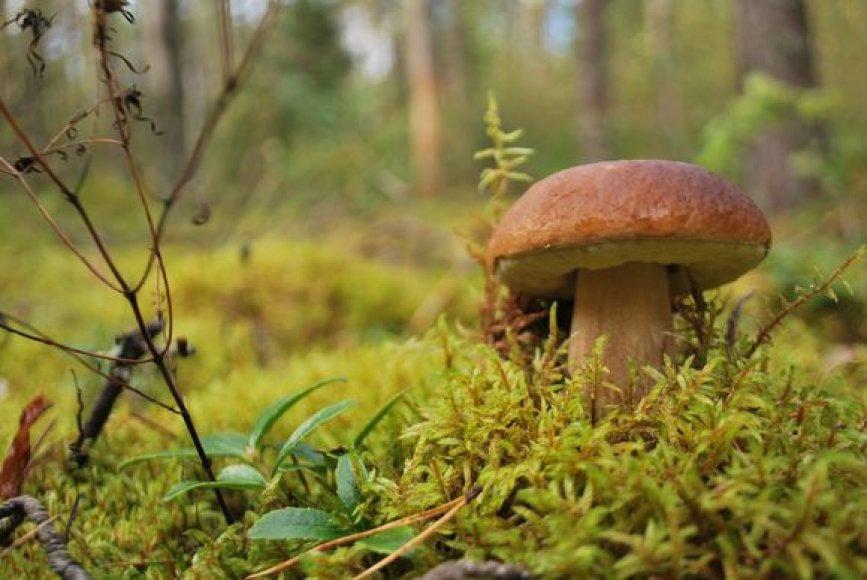 Grybus tyrinėjantys specialistai ramia sąžine tvirtina – Lietuvoje valgomų grybų nemažėja.