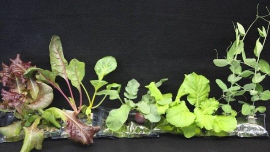 Tarptautinėje kosminėje stotyje išaugintos salotos