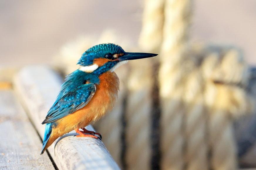 Tulžys (lot. Alcedo atthis, angl. European Kingfisher, vok. Eisvogel) – tulžinių (Alcedinidae) šeimos vienas iš gražiausių Lietuvos paukščių.