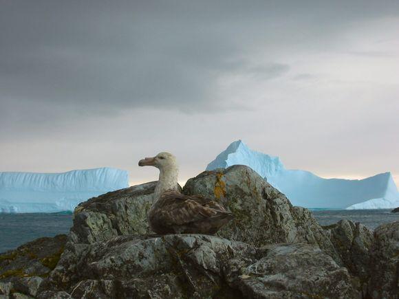 Didžiulis audrapaukštis Antarktidoje