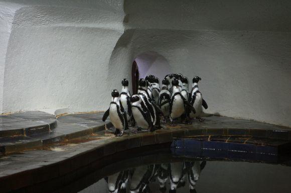 Šiuo metu Lietuvos jūrų muziejuje gyvena 21 pingvinas.