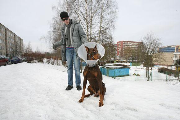 Vilniečio T.Stuokos tvarkingai mieste vedžiotas augintinis dobermanas buvo užpultas palaido agresyvaus šuns ir patyrė sužalojimus bei stresą.