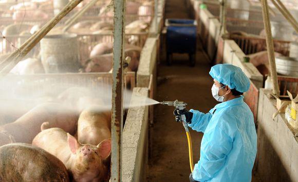 Taivane dezinfekuojamos kiaulės.