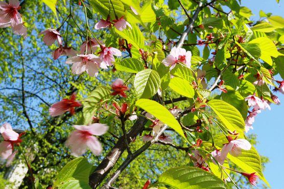 Klaipėdiečių akis džiugina prie Danės skvero žydinčios japoniškos vyšnaitės.