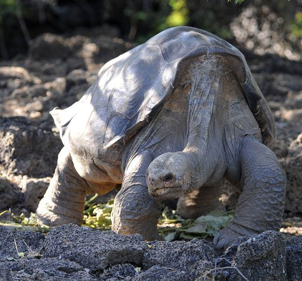 Vienišas Džordžas, vienas iš didžiųjų Galapagų salyno vėžlių.