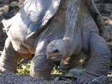 """AFP/""""Scanpix"""" nuotr./Vienišas Džordžas, vienas iš didžiųjų Galapagų salyno vėžlių."""