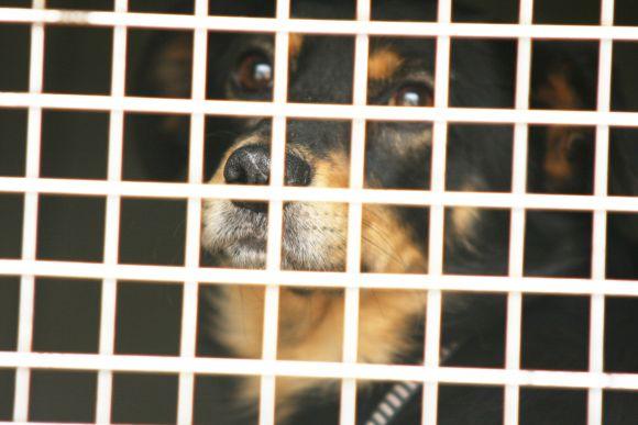 """Iš Aleksoto gyvūnų prieglaudos išgabenti šunys šiuo metu laikomi """"Nuaro"""" prieglaudoje."""