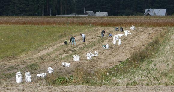 Ūkininkė gali guostis nebent tuo, kad išvengs daug jėgų atimančio bulviakasio.
