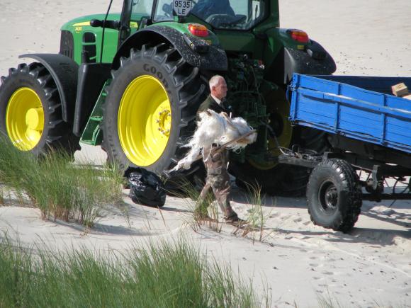 Neringoje buvo tvarkomi paplūdimiai.